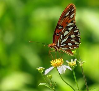 Gulf Fritillary Butterfly (Agraulis vanilliae)