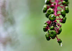 Dimensions (mpalmer934) Tags: insect plant water drop refraction bokeh macro