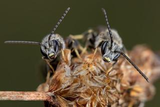 Common Furrow Bee