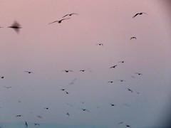 IMG_0004x (gzammarchi) Tags: italia paesaggio natura mare ravenna lidoadriano alba animale uccello gabbiano stormo volo