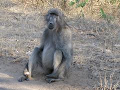 Begging baboon