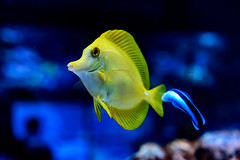 Yellow tang (Zebrasoma flavescens) of Sumida Aquarium in Tokyo Sky Tree Town : キイロハギ(東京スカイツリータウン・すみだ水族館) (Dakiny) Tags: 2018 summer august japan tokyo sumida sumidaward oshiage tokyoskytree tokyoskytreetown tokyosolamachi indoor aquarium sumidaaquarium city street creature animal fish tropicalfish underwater blue macro bokeh nikon d750 nikonafsmicronikkor60mmf28ged afsmicronikkor60mmf28ged