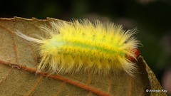 Hairy caterpillar (Ecuador Megadiverso) Tags: amazon andreaskay caterpillar ecuador rainforest