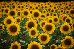 Crowded (Salva Pagès) Tags: sunflower girasol groc amarillo yellow flor flores flower nature naturaleza ple lleno crowded naturepicture bokeh dof