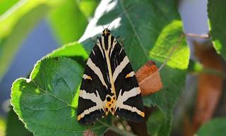 Jersey Tiger Moth 040818 (1)