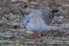 Crested Pigeon (Alan Gutsell) Tags: birds bird photo canon alan wildlife nature australianbird australia queenslandbirds queensland crested pigeon crestedpigeon dove spit