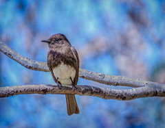 Black Phoebe (FotoGrazio) Tags: bokeh usa songbird waynesgrazio nature birds perched animal selectivefocus california mothernature blackphoebe wildlife feathers waynegrazio lovely bird beautiful waynestevengrazio blueandbrown fotograzio flycatcher sandiego animals