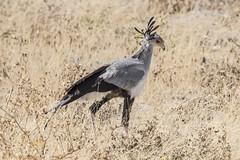Secretary Bird (malcolmgladman) Tags: etoshanationalpark namibia secretary bird