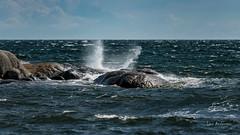 DSC04216.jpg (fotolasse) Tags: sonykarlshamnfåglarstorm karlshamn storm blåst vatten rågar hamn hav sjö båtar water sea birds rocks klippor