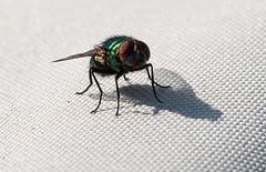 6M7A3076 (hallbæck) Tags: spyflue grøn fly volare flyga volar vliegen fliegen diptera muscidae insekt skygge shadow schatten ombre sombra ombra skugga