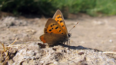 Small copper butterfly (Lycaena phlaeas) basking in the evening light (Tanya Mass) Tags: lycaenaphlaeas smallcopper butterfly road butterflyontheground orangewings smallcreature macroworld macro nature wildlife naturallight summer червонецпятнистый coppercoloredforewings basking evening light eveninglight голубянка