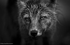 Out Of The Box (rishaisomphotography) Tags: kodiak alaska unexpected crossfox redfox vulpesvulpes nature naturephotographer wildlife wildlifephotography rishaisomphotography monochrome blackandwhite bw canonshooter