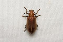 Coleoptera sp. (Beetle) - Isunga, Uganda (Nick Dean1) Tags: animalia arthropoda arthropod hexapoda hexapod insect insecta coleoptera beetle isunga kibalenationalpark kibale uganda