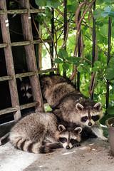 20180810 raccoons (chromewaves) Tags: fujifilm xt20 fujinon xf 1855mm f284 r lm ois toronto raccoons