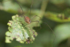 Harvestman (brian.magnier) Tags: new jersey nature wildlife animals outdoors