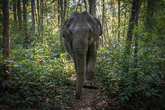 EASY RIDER (Tony_Brasier) Tags: woods cambodia elephants green grass trees lovely location