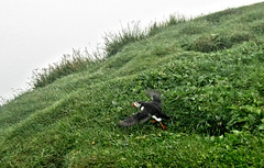 Take-off from secret underground base (Jan Egil Kristiansen) Tags: img4716 animal bird seabird puffin lundi takeoff mykines faroeislands grass burrow