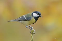 Cinciallegra in colors (mauro.santucci) Tags: cinciallegra passeriforme uccelli uccello bird avifauna natura birdwatching wildlife wild