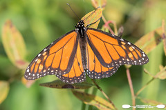Monarch Basking In Afternoon Light (freshairphoto) Tags: monarch butterfly wings afternoon sunlight towpath trail wildwoodpark lake harrisburg pa artspearing nikon d500 200500 zoom handheld