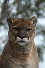 It is in the eyes (Jess. B.) Tags: cougar canada canonrebelt3i eos600d zoo animal mammal feline ontario toronto photography beauty eyes brown blue green cage speak enclosure