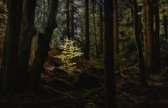 A mystic forest (ramerk_de) Tags: hdr bavarianforest bayerischerwald bayern lowerbavaria trees forest sunrays