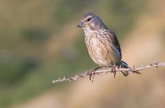 Linnet (Linaria cannabina). (Bob Eade) Tags: birds linnet sussex seaford southdownsnationalpark summer avian wildlife downland