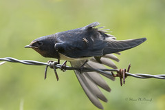 Swallow With A Bug. (shaunmcdonagh) Tags: swallow birds bird northumberland nature northeast northeastbird