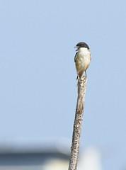 Long-tailed Shrike ssp. nasutus (christopheradler) Tags: malaysia borneo longtailed shrike