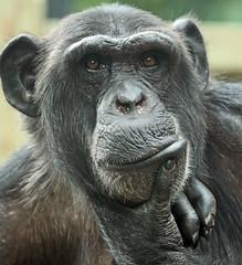 chimpanzee Vizuri  artis JN6A1229 (j.a.kok) Tags: chimpansee chimpanzee pantroglodytes animal artis africa afrika aap ape primate primaat mammal monkey mensaap zoogdier dier vizuri