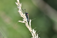 Zygaena lavandulae (esta_ahi) Tags: pontons zygaena lavandulae zygaenalavandulae zygaenidae lepidoptera mariposilla polilla moth gitanilla insectos fauna penedès barcelona spain españa испания