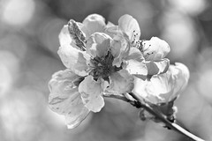 Floral Forms 2462 (23 Skiddoo) Tags: bw blackandwhite flower nature plant gentle