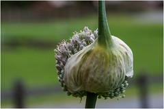 Zipfelmützchen (eulenbilder) Tags: knolle blüte lauch zwiebel grün garten