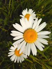 Daisy (Minna Tuulos) Tags: daisy flower fleur flores finland marguerite margarita