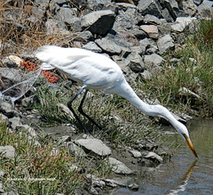 Snap up a fish! (MyRidgebacks - Sharon C Johnson) Tags: egret waterfowl belmontslough sanmateocounty northernca sharoncjohnsonphotography specanimal coth coth5