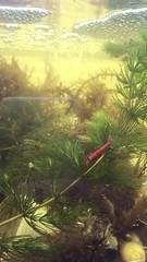 IMG_5567 (Lovebirdzl) Tags: neocaridina shrimp sakura aquarium freshwater water aquaria