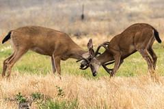 Friends play sparring (Brown Acres Mark) Tags: blacktaileddeer odocoileushemionuscolumbianus bucks sparring brownacres jacksoncounty oregon usa markheatherington