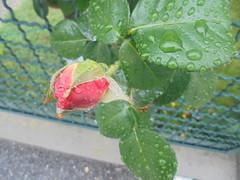 283 (en-ri) Tags: rosa rose sonysti bocciolo blossom rosso verde foglie leaves gocce pioggia rain sony