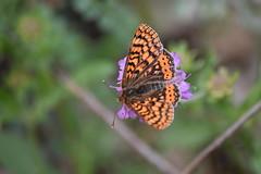 Festival de mariposas (esta_ahi) Tags: planadancosa mariposa papallona butterfly lepidoptera insectos fauna anoia barcelona spain españa испания euphydryas aurinia euphydryasaurinia nymphalidae melitaeinae melitaeini