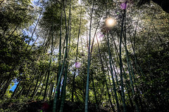 Three hundred (Melissa Maples) Tags: batumi batum ბათუმი adjara აჭარა georgia gürcistan sakartvelo საქართველო asia 土耳其 apple iphone iphonex cameraphone მწვანეკეპი mtsvanecape ბოტანიკურიბაღი botanicalgarden bamboo trees forest sunflare lensflare flare