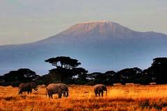 Kenya/Tanzania National Parks (Steve S. Yang) Tags: vacationinafrica gamedrives highestmountaininafrica africasafari kenya nationalpark amboseli kilimanjaro
