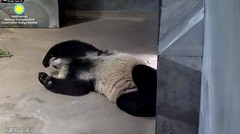2018_08-11 (gkoo19681) Tags: beibei chubbycubby fuzzywuzzy naptime feetsies covering toobright travelchute blockingdoor comfy stayingcool hisway somuchfluff passedout justbecausehecan toocute beingadorable tushy darling precious amazing contentment meltinghearts ccncby nationalzoo