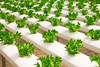 Agriculture (Homedust) Tags: agriculture basil bunch cultivation culture farming food fresh freshness garden green greenhouse grow healthy herb industry ingredients leaves lettuce organic plant salad texture vegetable