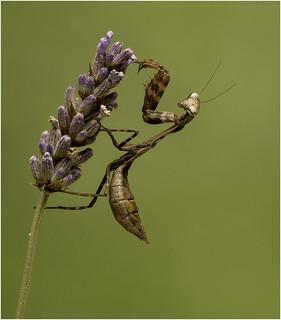 Kenyan Praying Mantis