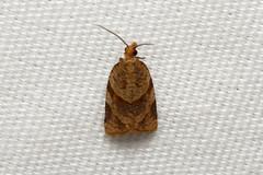 Tortricidae sp. (Moth) - Isunga, Uganda (Nick Dean1) Tags: animalia arthropoda arthropod hexapoda hexapod insect insecta lepidoptera moth isunga kibalenationalpark kibale uganda
