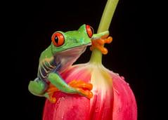Red-Eyed Tree Frog, CaptiveLight, Bournemouth, Dorset, UK (rmk2112rmk) Tags: redeyedtreefrog captivelight treefrog frog amphibian herps agalychniscallidryas