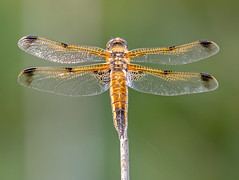DSC3357 Four Spotted Chaser.. (jefflack Wildlife&Nature) Tags: fourspottedchaser chaser odonata insects insect dragonflies dragonfly wildlife wetlands woodlands glades copse countryside hedgerows reservoirs reeds reedbeds moorland marshland meadows marshes waterways lakes ponds knnr nature
