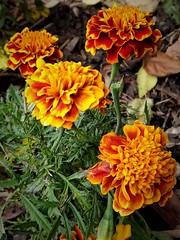 2018-Marigolds (Chris@YellowMopArt) Tags: garden flower marigold orange