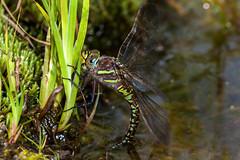 The Eyes - _TNY_6110 (Calle Söderberg) Tags: macro canon canon5dmkii canoneos5dmarkii 5d2 canonef100mmf28usmmacro flash meike mk300 glassdiffusor odonata aeshna juncea hawker dragonfly trollslända mosaikslända starrmosaikslända brown blueeyes yellowstripes layingeggs pond gardenpond commonhawker anisoptera aeshnidae moorlandhawker sedgedarner darner torfmosaikjungfer sivmosaikguldsmed siniukonkorento rustica undulata water eyes compoundeyes f8