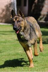 33990070_1854112334639942_174995758120960000_n (hector.frappe) Tags: perro compañero pastor belga