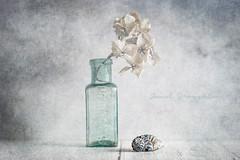 Little Blue Shell (Janet_Broughton) Tags: lensbaby twist60 shell seashell blueshell vintage bottle hydrangea